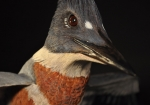 kingfisher-completed-28