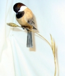 wheat-chickadee4