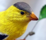 goldfinch-7