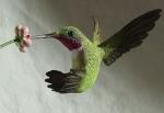 lilac-hummingbird1