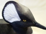 hoodedmerganser6