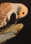northernflicker-17